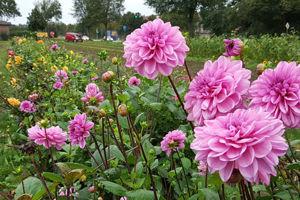 Blumen zum Selberpflücken in Peine.