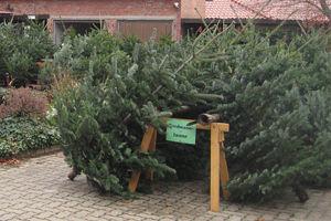 Wann Weihnachtsbaum Kaufen.Weihnachtsbaum Kaufen In Peine Hof Behrens In Dungelbeck